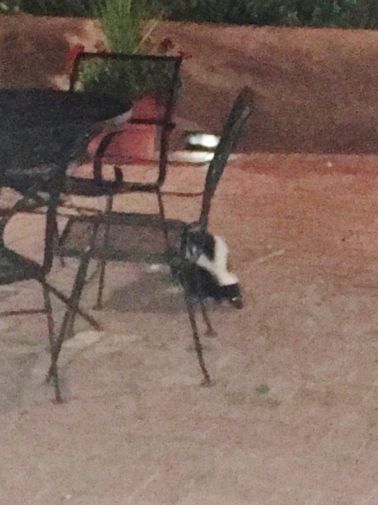 Skunk while dining out