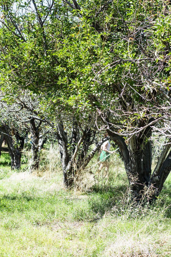 Apple orchard in Arizona