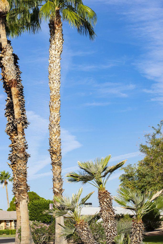 Palm trees in Sun City Arizona