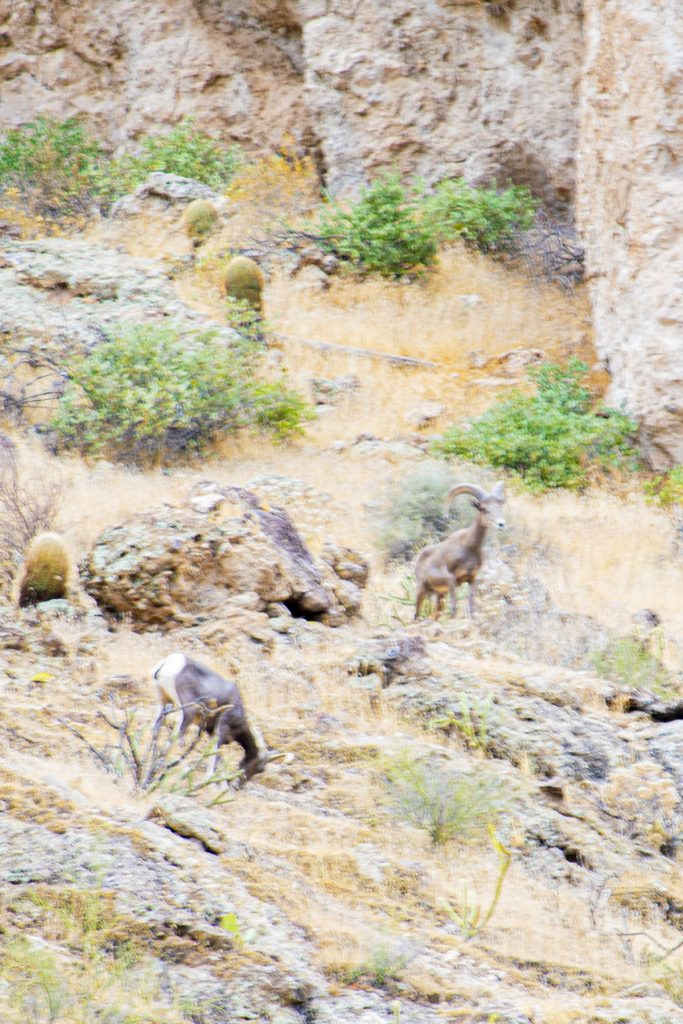 Big Horn Sheep at Canyon Lake