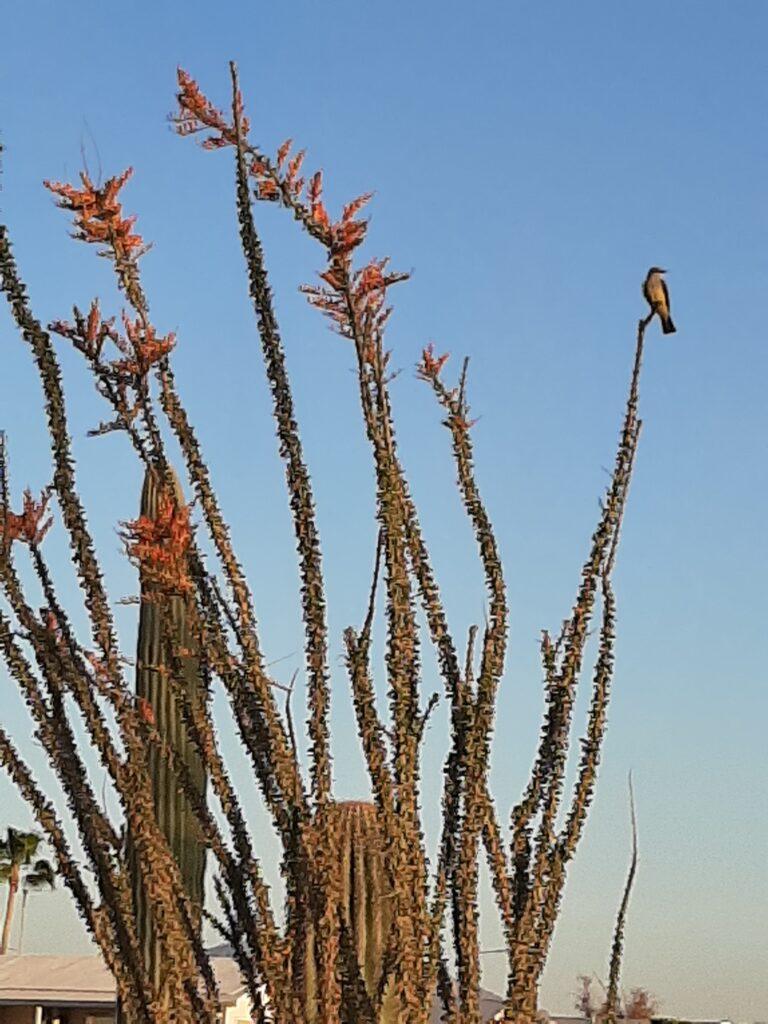 The cactus in AZ